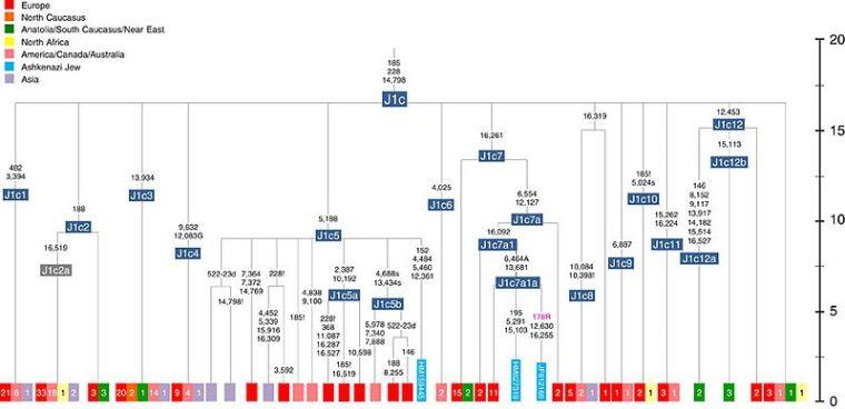 Schematic_phylogenetic_tree_of_mtDNA_haplogroup_J1c