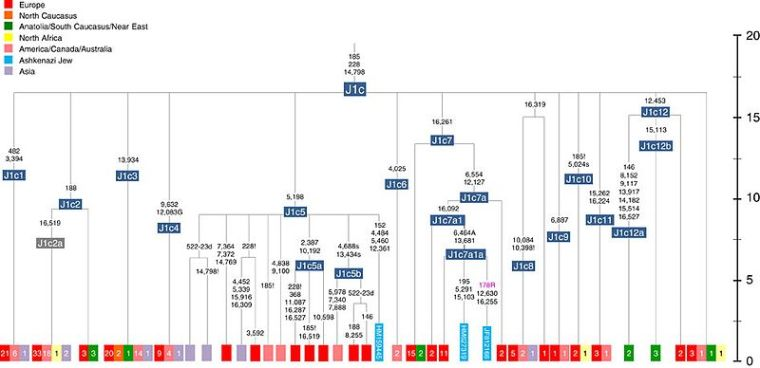 Schematic_phylogenetic_tree_of_mtDNA_haplogroup_J1c